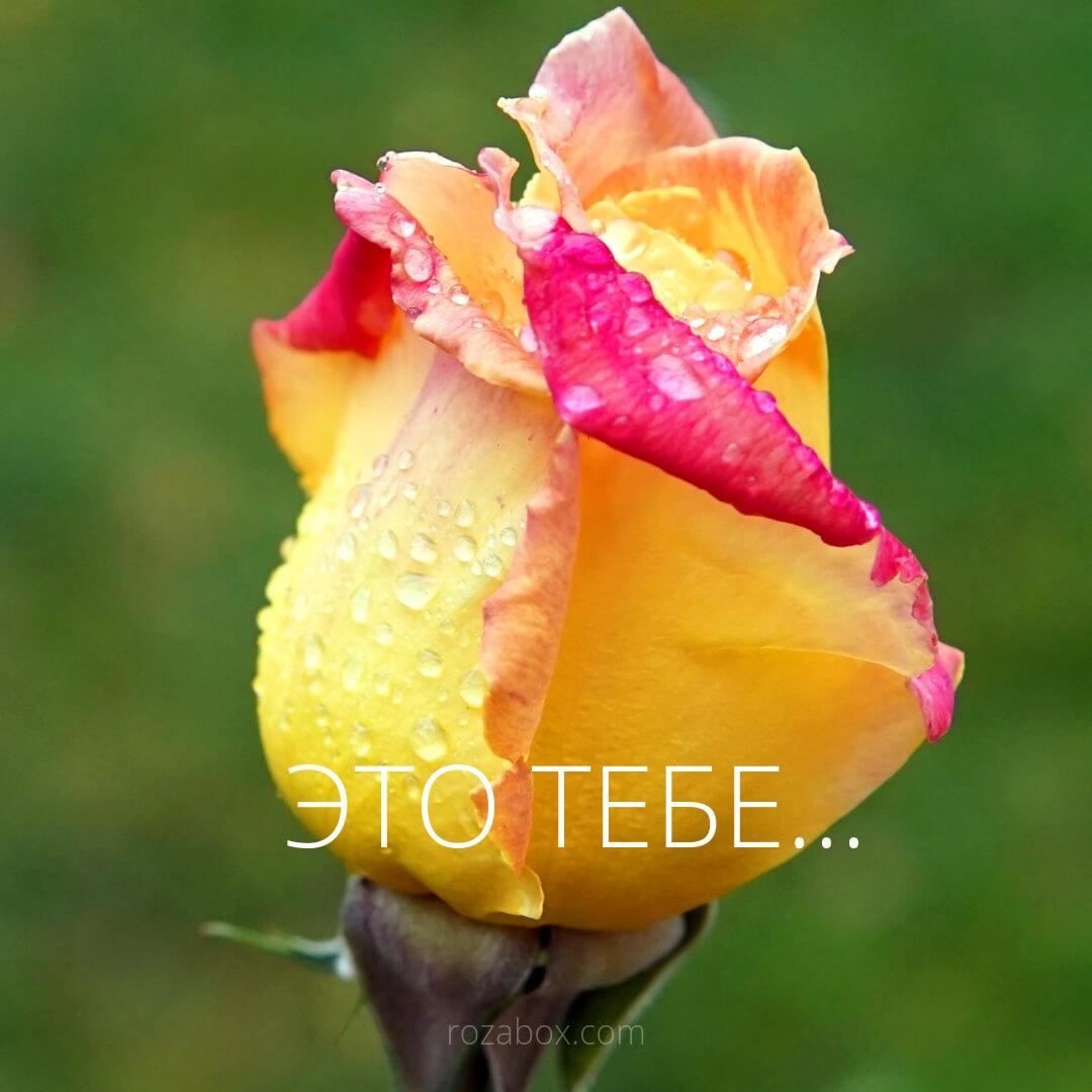это тебе открытка с розой
